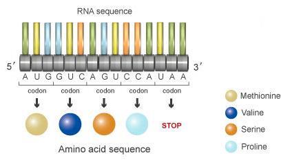 DNA ditranslasikan menjadi RNA, kemudian per tiga nucleotida akan disandikan menjadi satu kodon. Gabungan kombinasi kodon inilah yang akan menjadi penyusun protein. (Nature (2010). A Brief History of Genetiks: Defining Experiments in Genetiks. Cambridge, MA: NPG Education)