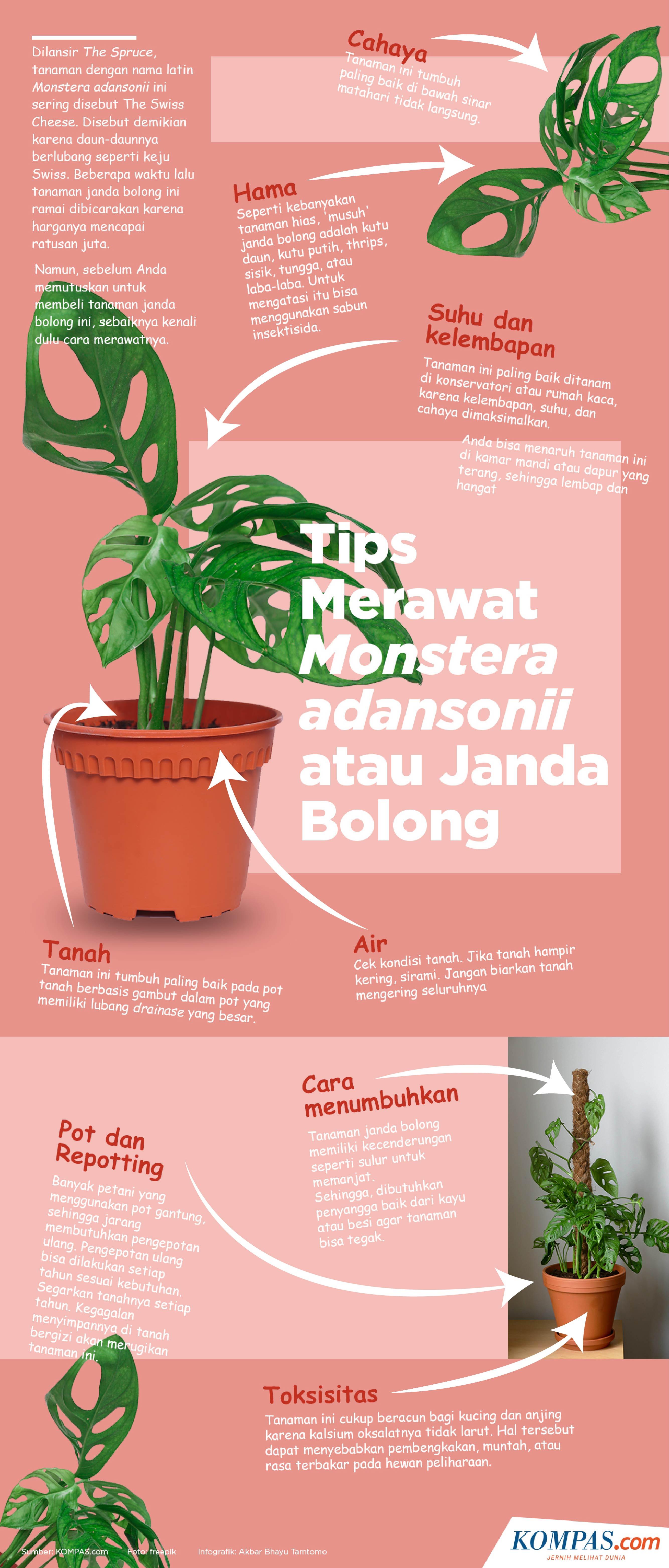 Infografik Tips Merawat Monstera Adansonii Atau Janda Bolong