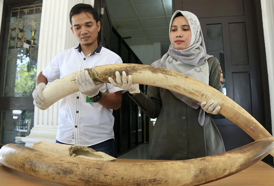 Gading Gajah yang Mati Dibunuh di Aceh Diserahkan ke BKSDA