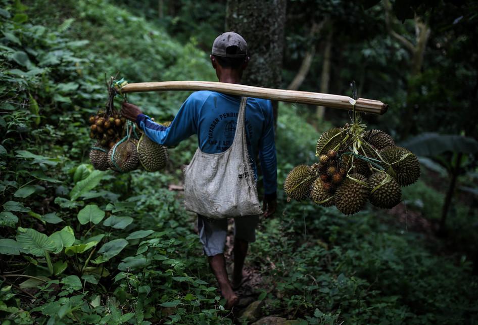 Panen Durian Rumpin