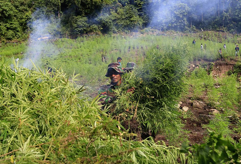 Polisi Musnahkan 5 Hektar Ladang Ganja di Aceh Besar