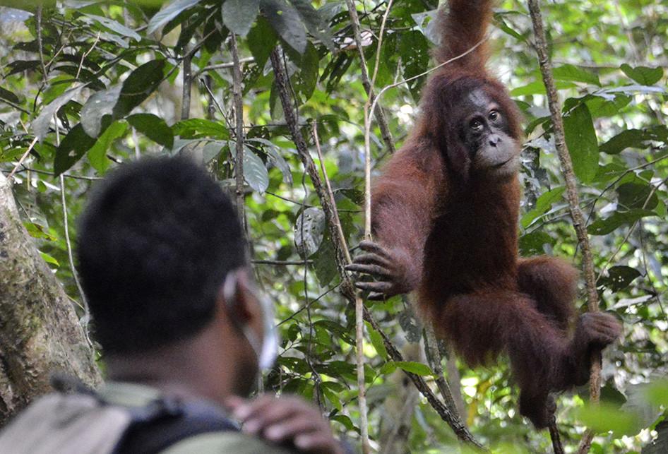 Lulus Sekolah, Dua Orangutan Dilepasliarkan ke Cagar Alam Jantho