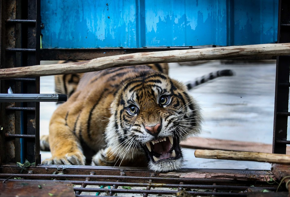 Harimau Jalani Observasi di Kawasan Konservasi Tambling