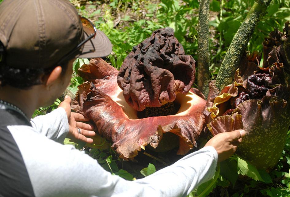 Ratusan Bunga Bangkai Bermunculan di Hutan Segoro Gunung Groboga