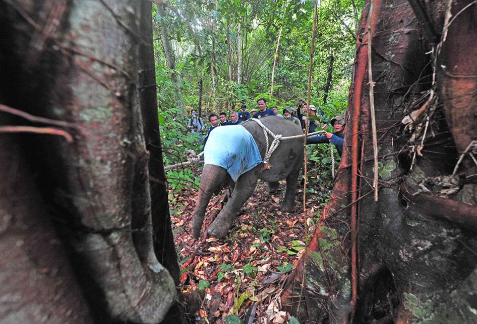 Translokasi Anak Gajah Sumatera Korban Jerat di Jambi