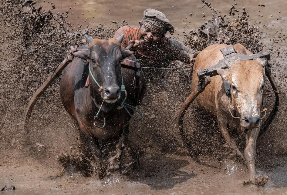 Seorang joki menggigit ekor sapi (jawi) ketika mengendalikannya saat mengikuti kegiatan olahraga tradisional Pacu Jawi di Tanah Datar, Sumatera Barat, Sabtu (17/3/2018). Pacu Jawi merupakan permainan olahraga tradisional yang diadakan usai panen padi dan telah menjadi atraksi wisata untuk menarik wisatawan asing dan wisatawan lokal.
