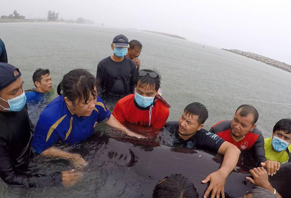 Foto dirilis pada Sabtu (2/6/2018) dan diambil pada Senin (28/5/2018) memperlihatkan relawan ThaiWhales dan dokter hewan dari Departemen Kelautan dan Sumber Daya Pesisir Thailand berupaya menyelamatkan paus pilot jantan di pesisir pantai di Songkhla, Thailand. Otopsi yang dilakukan mengungkap 80 kantong plastik dengan berat mencapai 8 kilogram berada di dalam perut mamalia laut naas itu.