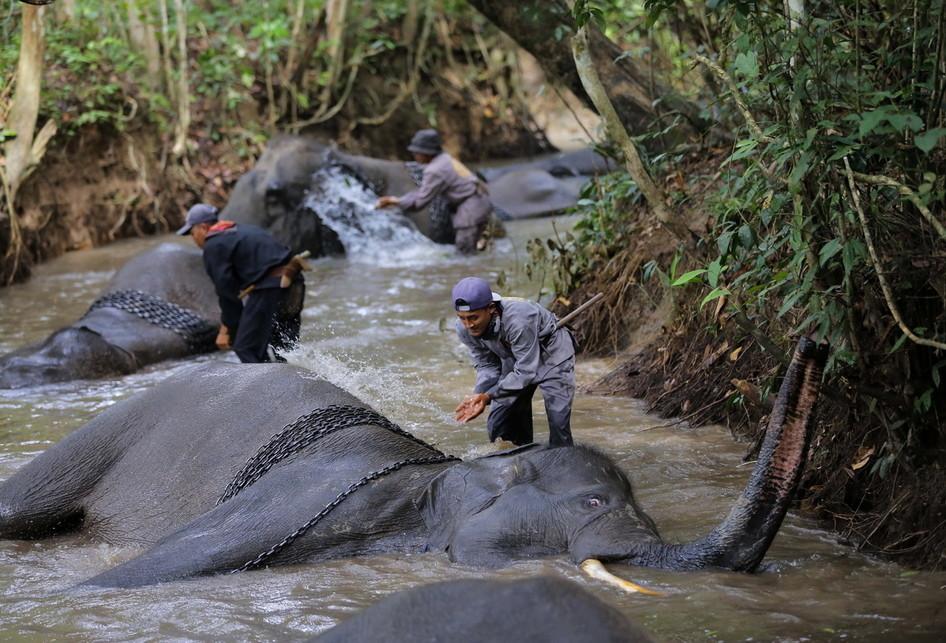 Gajah-gajah Mandi di Way Kambas