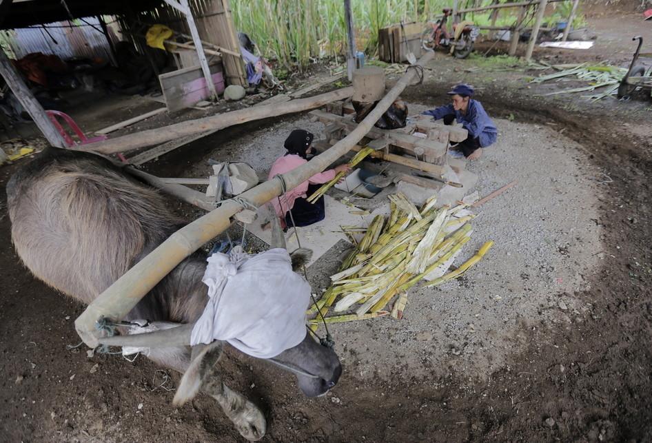 Kilang Tebu Tradisional Kerbau Desa Lawang Sumatera Barat