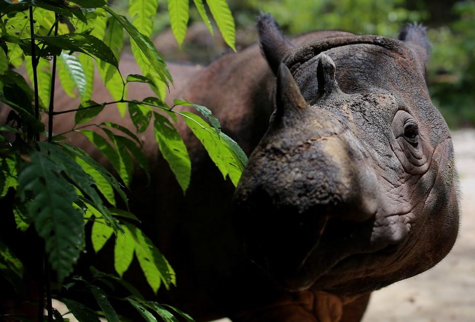 Harapan Badak Sumatera