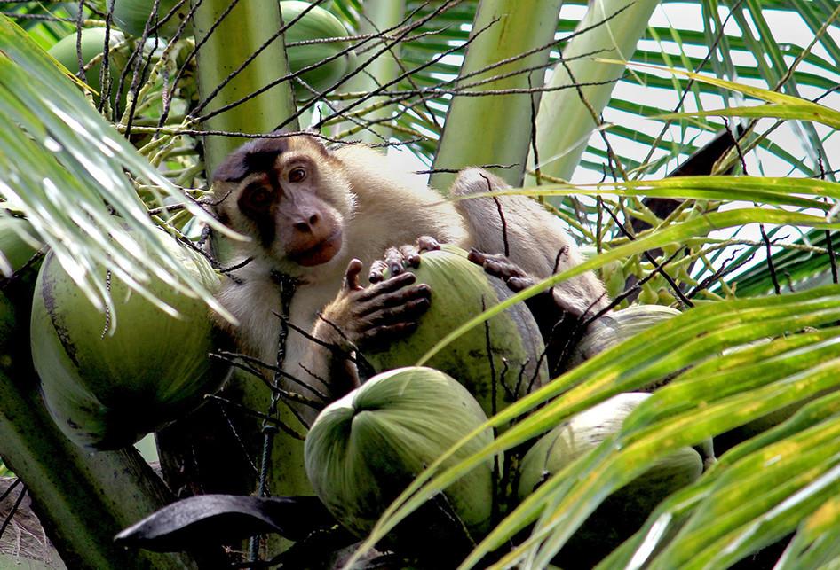Perdagangan Monyet yang Terlatih Memetik Kelapa