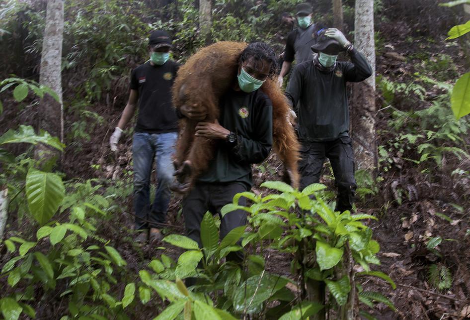 INDONESIA-WILDLIFE-ORANGUTAN-RELOCATIONS