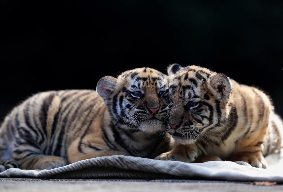 7600 Koleksi Gambar Binatang Kepala Harimau Gratis